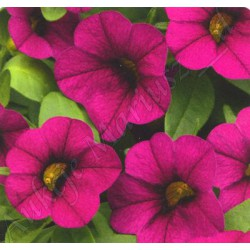 Million bells , calibrachoa , burgund