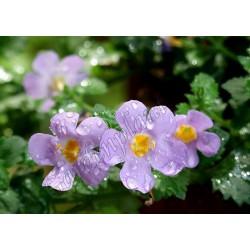 Bacopa 'Giga Lavender'