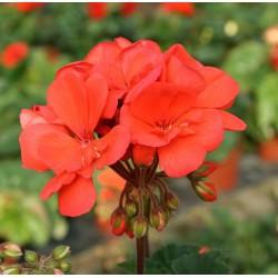 Pelargonia 'classic orange'