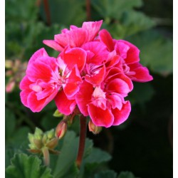 Pelargonia  'Dark Raspberry'
