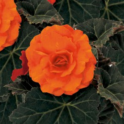 Begonia 'Nonstop Orange'