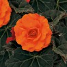 Begonia 'Nonstop Orange'