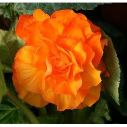 Begonia 'Nonstop Apricot'