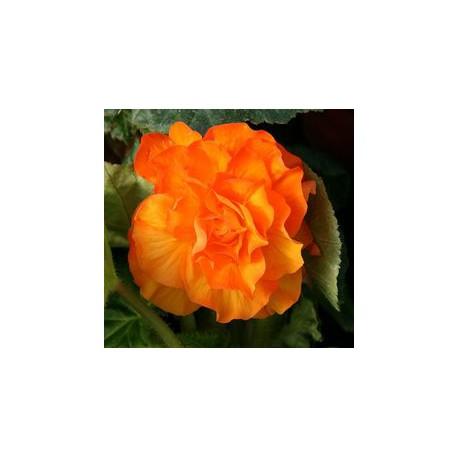 Begonia 'Nonstop Apricot'