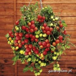 Pomidor balkonowy czerwony