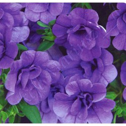 Calibrachoa 'Blue Double'