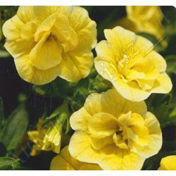 Calibrachoa 'Yellow Double'