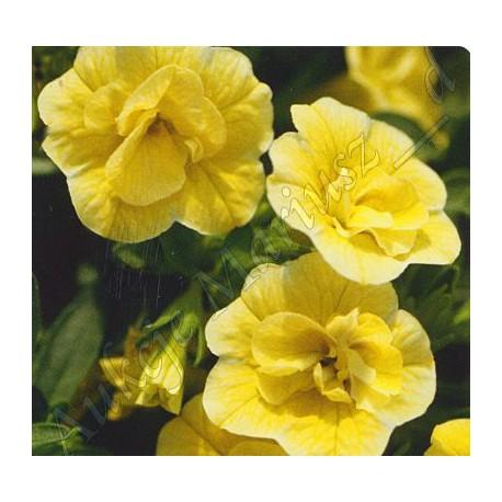 Million bells , calibrachoa żółty pełnokwiatowy