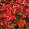 Begonia stale kwitnąca czerwona