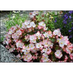 Begonia stale kwitnąca bicolor