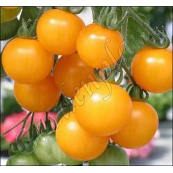 Pomidor balkonowy żółty