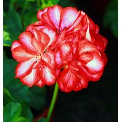 Pelargonia , biało-czerwona, pełnokwiatowa