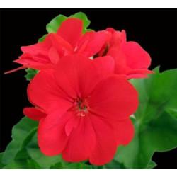 Pelargonia zwisająca czerwona , pełnokwiatowa