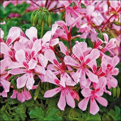 Pelargonia zwisająca 'Butterfly Pink'