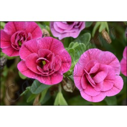 Calibrachoa 'Pink Double'