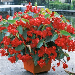 Begonia dragon wind