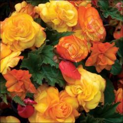 Begonia zwisająca 'Illumination Apricot'