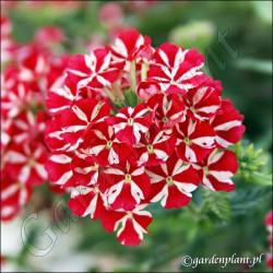 Werbena 'Red Star'