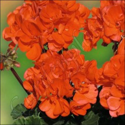 Pelargonia rabatowa 'Dark Coral'