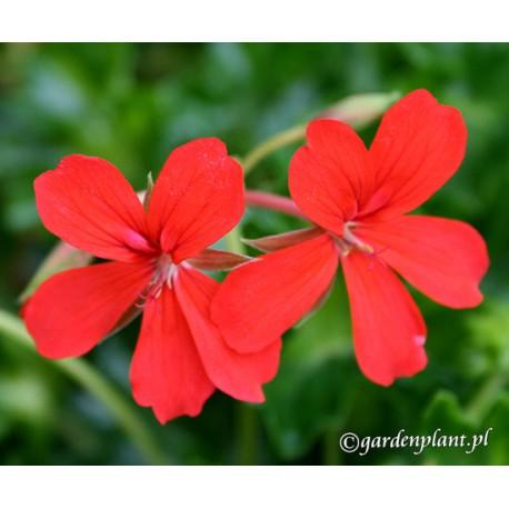 Pelargonia bluszczolistna czerwona