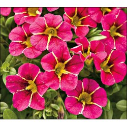 Million bells , calibrachoa , 'Cherry Star'