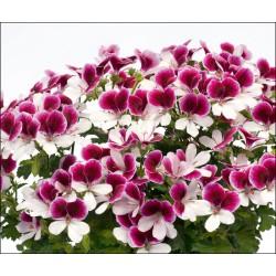Pelargonia anielska 'Bicolor'