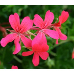 pelargonia bluszczolistna różowa
