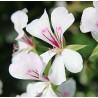 Pelargonia bluszczolistna biała