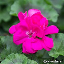 Pelargonia rabatowa 'Classic Violet'