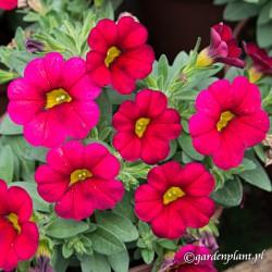 Calibrachoa Calipetite® Czerwony
