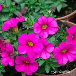 Calibrachoa Calipetite® Różowy