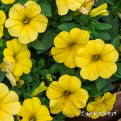 Calibrachoa Calipetite® Żółty