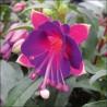 Fuksja Special Magenta-Purple