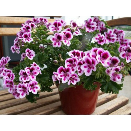 Pelargonia anielska 'Randy'
