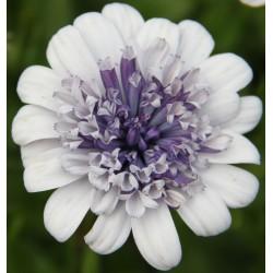 Osteospermum pełnokwiatowe 'Ice Blue'