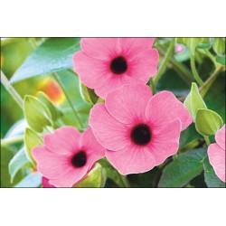 Thunbergia 'Arizona Rose Sensation'