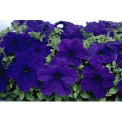Surfinia 'Patio Purple'