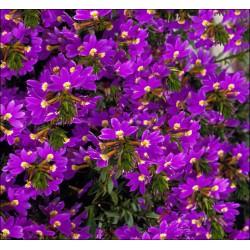 Scewola 'Purple'