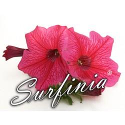 Surfinia różowa
