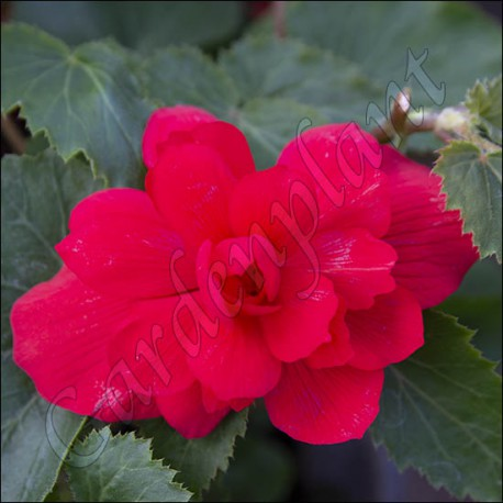 Begonia illumination rose