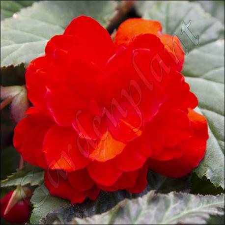Begonia illumination orange