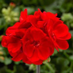 Pelargonia  Calliope® Scarlet
