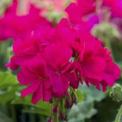 Pelargonia  Calliope® Violet