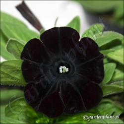 Surfinia czarna