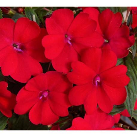Niecierpek SunPatiens® 'Compact Red'