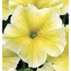 Surfinia 'Patio Yellow'