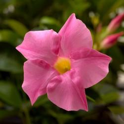 Dipladenia 'Rio® Pink'