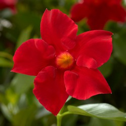 Dipladenia 'Rio® Scarlet'