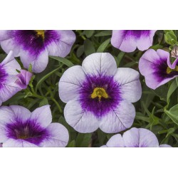 Calibrachoa 'Dark Blue'