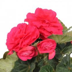 Begonia 'Nonstop Rose'